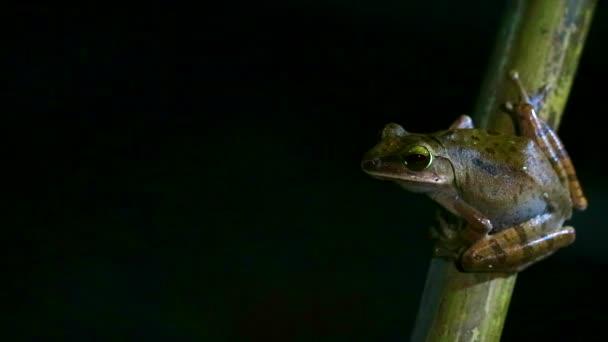 Polypedale Leucomystax hängen am Bambus und mögen die Nacht