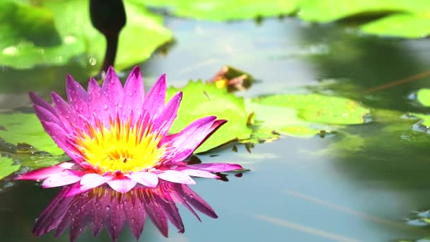 odraz rozkvětu lotosové růžice v rybníku a dešti spadnu na leaves2