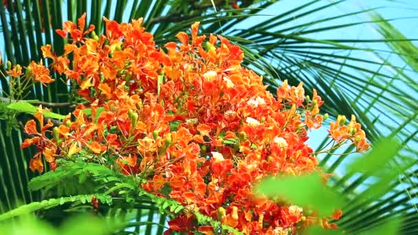 Red Caesalpinia pulcherrima flowers are blooming and palm leaves background
