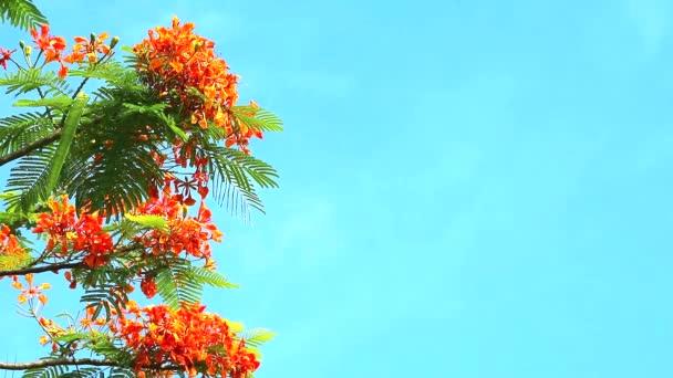 Red Caesalpinia pulcherrima flowers are blooming during rainy season blue sky background