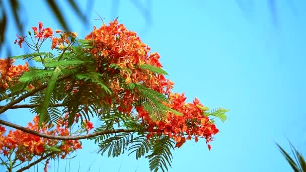 Red Caesalpinia pulcherrima flowers are blooming during rainy season blur leaves