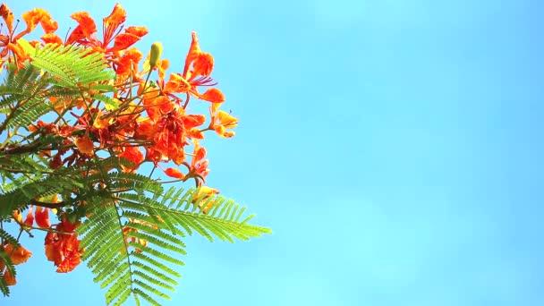 Red Caesalpinia pulcherrima flowers are blooming during rainy season in blue sky