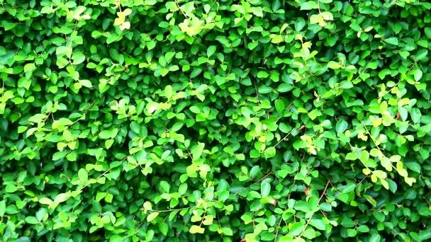 zelená čerstvá listí příroda Fench Banyan Tree v Indonésii