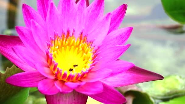 rózsaszín lótusz virág virágzó tavon zöld pad háttér