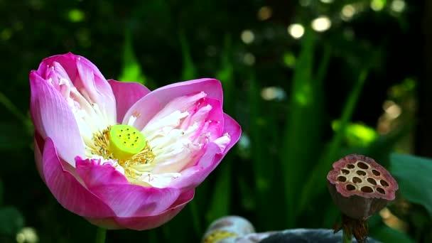 rózsaszín lótusz virág virágzó kerti és száraz ág lotus1