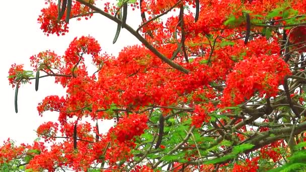 red flame tree flower blooming in the garden2