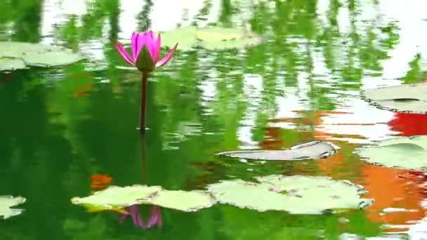 tükrözi a lótusz rózsaszín virág virágzik a tó és az eső esik leaves1