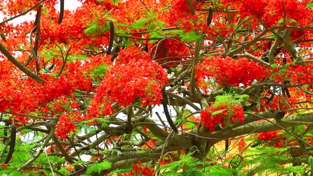 red flame tree flower blooming green leaves in the garden