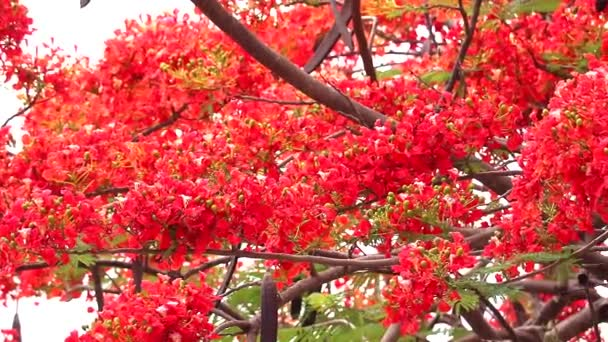 red flame tree flower blooming in the garden, pan lift to right