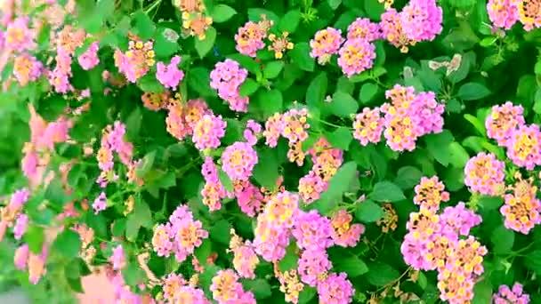 pink yellow lantana camara flower in garden blooming and dancing by wind