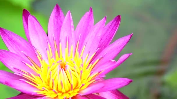 Lotus má purpurovou růžovou barvu okvětů kvetení v rybníčku