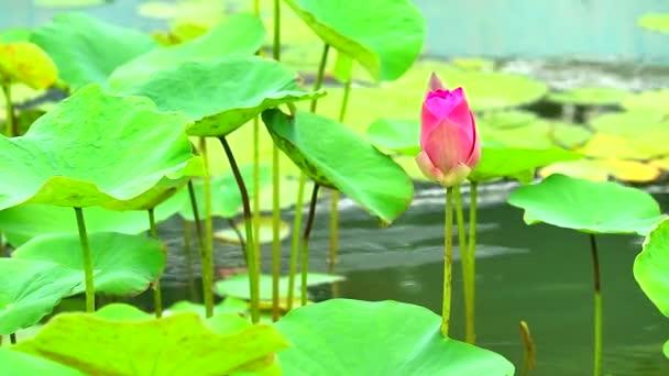 Pink Lotus Flower virágzó a tó és a pad a vízen