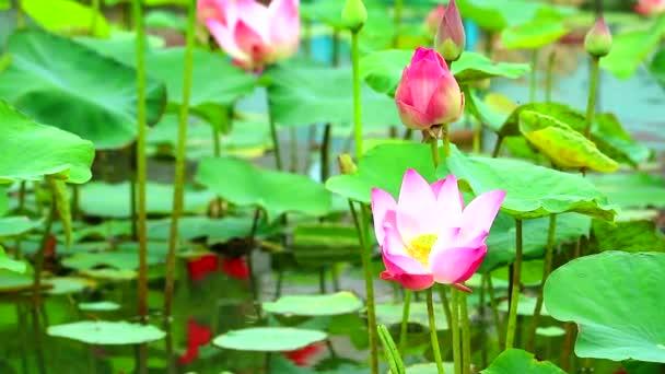 Pink Lotus Flower teljes virágzó a tó és a Blur pad a víz háttere