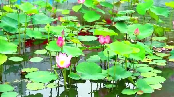 Pink Lotus Flower teljes virágzó a tó és a pad a vízen background1