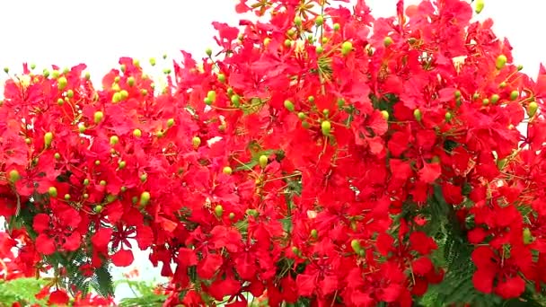 Rudá Caesalpinia pulcherrima kvete strom v garden1