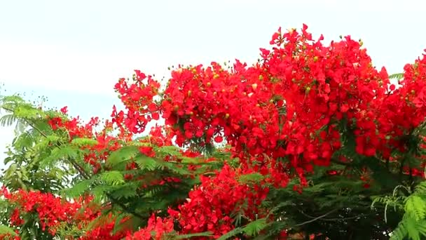 Rudá Caesalpinia pulcherrima kvete strom v garden2