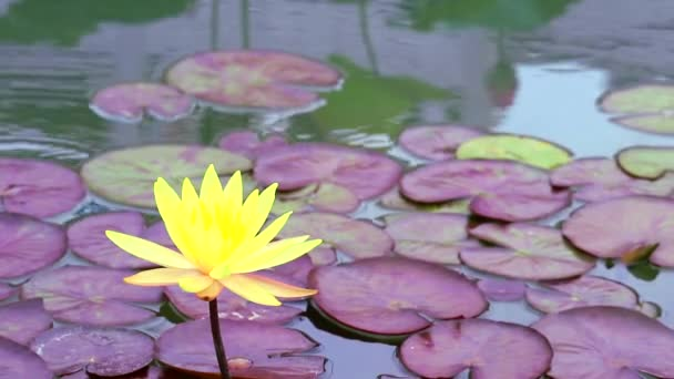 Yellow Lotus Flower full blooming in the pond and blur pad  on water background