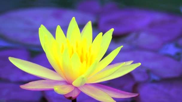Plný kvetoucí žlutý květ v jezírku a pozadí rozostřením