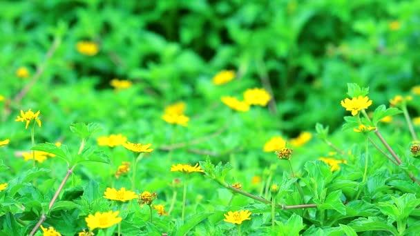 Little yellow star flower blooming in garden