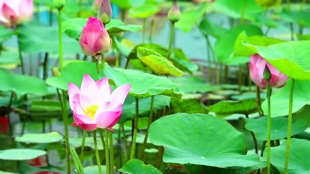 Pink Lotus Flower teljes virágzó tó és elmosás pad a víz háttér