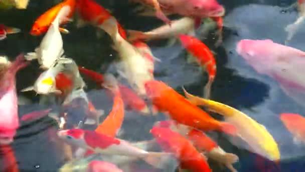 ryby Koi nebo kapr se plavou v rybníku a jedna ryba dýchá na vodní hladině