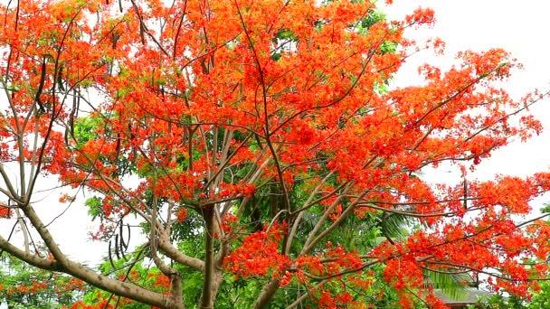 Red Caesalpinia pulcherrima flowers tree are blooming in garden