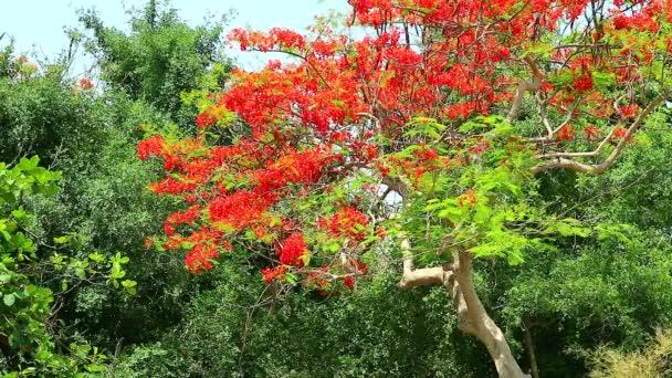der Flammenbaum, die königliche Pointe im Park, die sich morgens durch den Wind bewegt 1