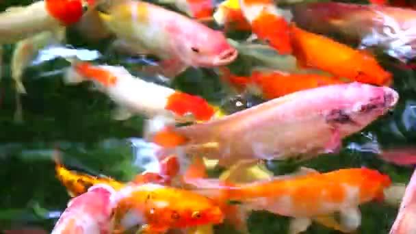 ryby Koi nebo kapr jsou v rybníčku, kde se jedí na vodní hladině