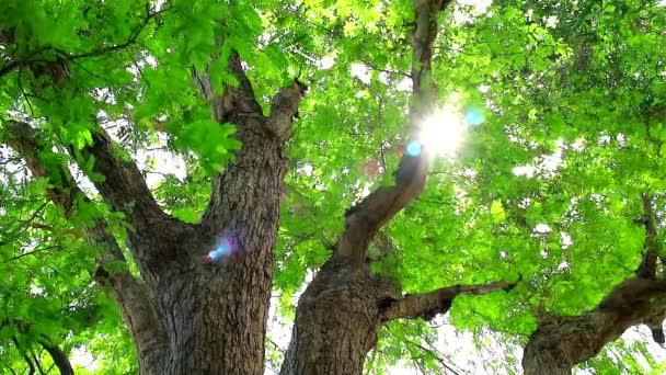 napfény át Tamarind fa kis zöld levelek, hogy nőnek a kertben, és árnyékot ad a madarak és más állatok
