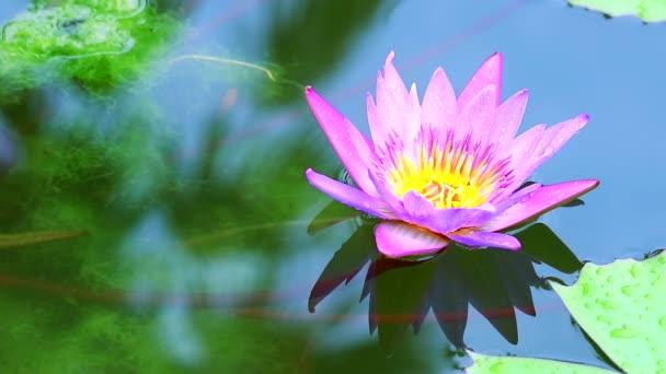 friss gyönyörű rózsaszín lótuszvirág virágzik a vízen a tóban