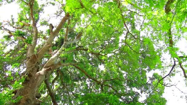 Tamarind strom má malé zelené listy, které rostou v zahradě a poskytují stín pro ptáky a další zvířata