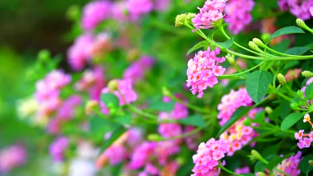 lantana colorful pink bouquet flowers blooming all in the garden blurred background