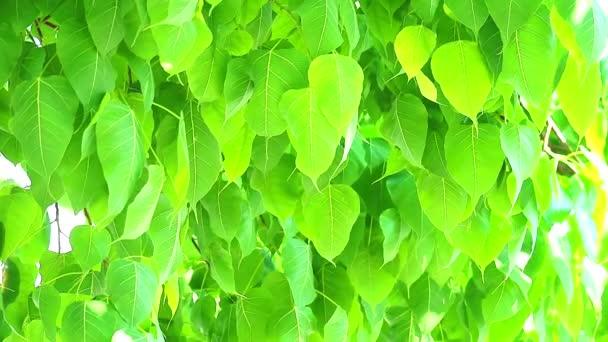 světle zelené listy Bodhi rostou během období dešťů1