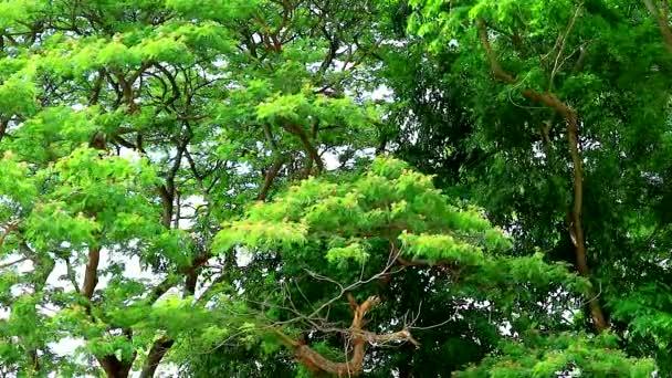 East Indian Walnut, Monkey Pod, Rain Tree, růžové květy v zahradě