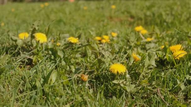 Pampelišky, první jarní květiny na louce.