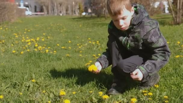 Boy collects dandelions on the lawn in the spring city park.
