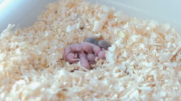 Neugeborenen kleinen Mäuse sind blind im nest.