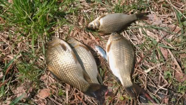 Ryby kapr na trávě na břehu rybníka.