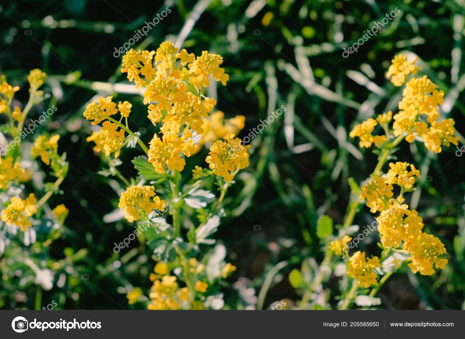 Come Si Chiamano I Fiori Gialli.Yellow Small Flowers In A Meadow Close Up Stock Photo