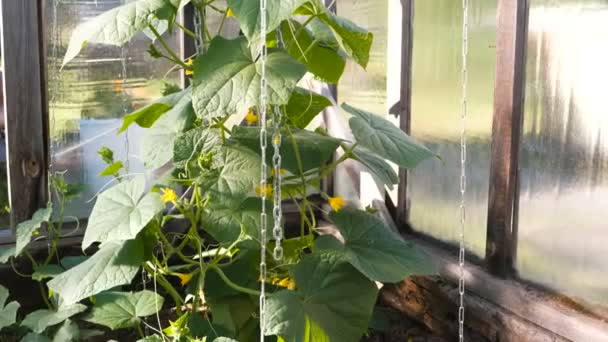 Plants cucumbers with flowers in the greenhouse.