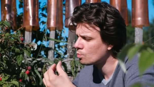 Junger brünetter Mann isst Himbeeren und reißt sie aus dem Gebüsch.