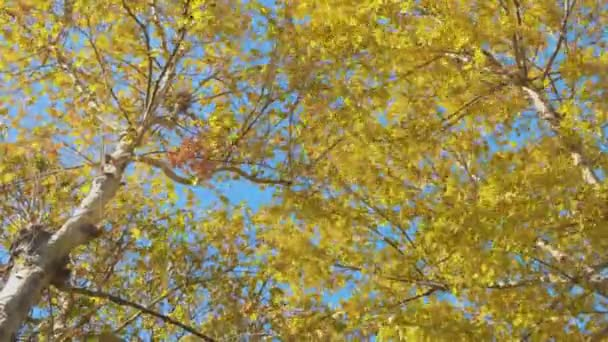 Javory s žluté a zelené listí na podzim