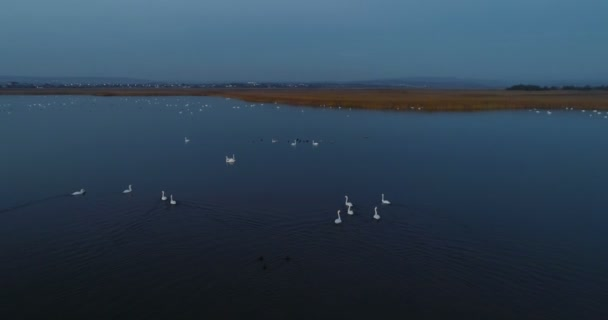 White swans swim in the pond at night in the dark. Beautiful aerial footage in autumn.