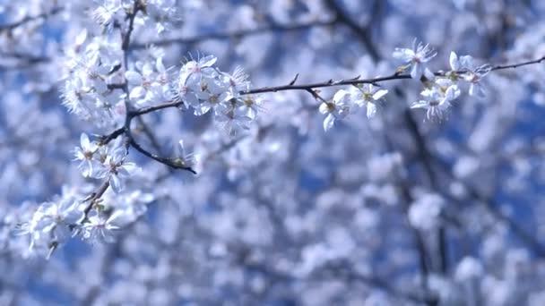 Krásné malé bílé květy na větvích stromových větví na bílém pozadí.