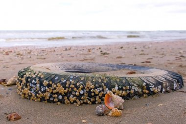 Car tire thrown by waves on the sandy shore during a storm. Tyre covered with sea shells.