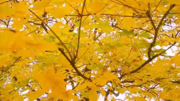 fenséges juharfa játszik őszi színárnyalatokat az arany ősz vagy a vénasszonyok nyara a mesés dekoráció