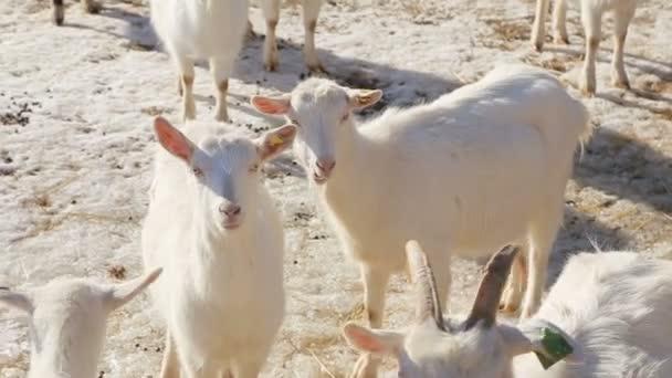 Biologické travní kozy-stádo mladých dětí na ekologicky šetrných masných farmách
