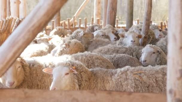 ovce hejno ve slunečním světle na ekofarmě-jehněčí výrobky z ekologického masa
