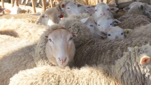 Schafe und Lämmer aus biologischem und natürlichem Anbau in der Morgensonne - neue ökologische Anbaumethoden für alternative Nutzpflanzen