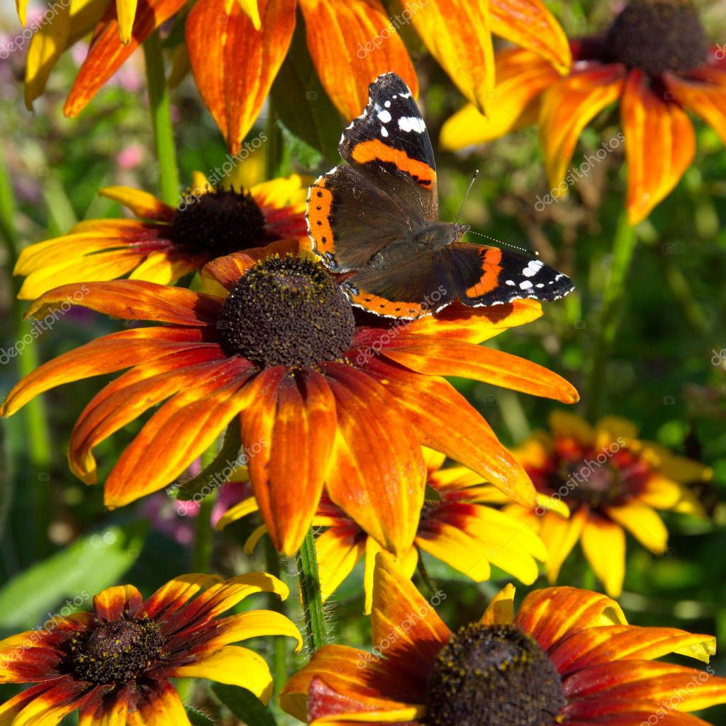 Butterfly Admiral (lat. Vanessa atalanta) on flower of rudbeckia